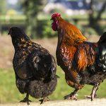 Twee Kippen